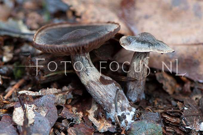 Cortinarius alnetorum - Gegordelde elzegordijnzw