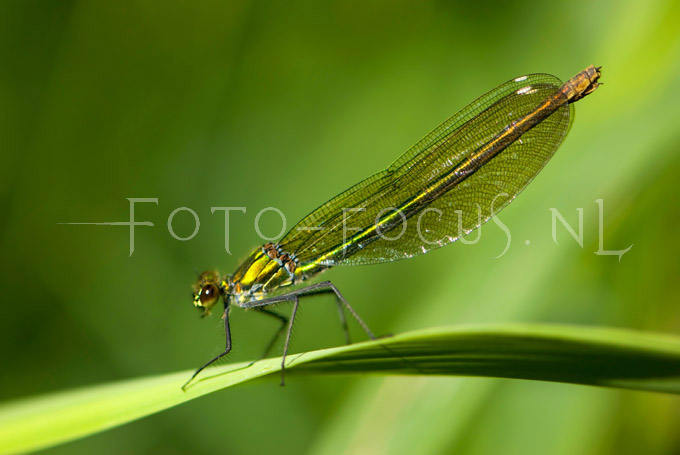 Calopteryx splendens - Weidebeekjuff.1 female