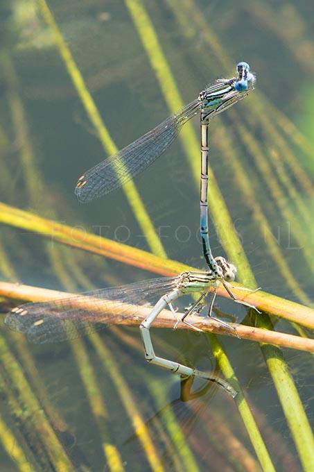 Platycnemis pennipes- Blauwe Breedscheenjuff.5