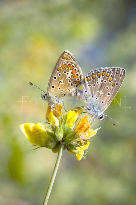 Aricia agestis - Bruin blauwtje3 - copula