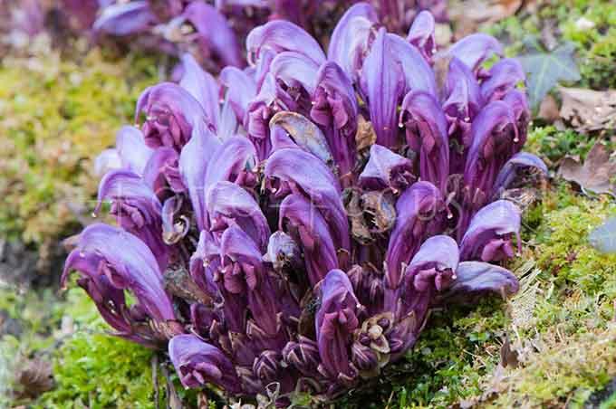 Lathraea clandestina - Paarse schubwortel