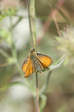 Thymelicus sylvestris - Geelsprietdikkopje -male