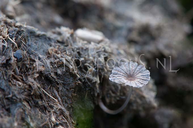 Coprinus miser - Klein mestplooirokje