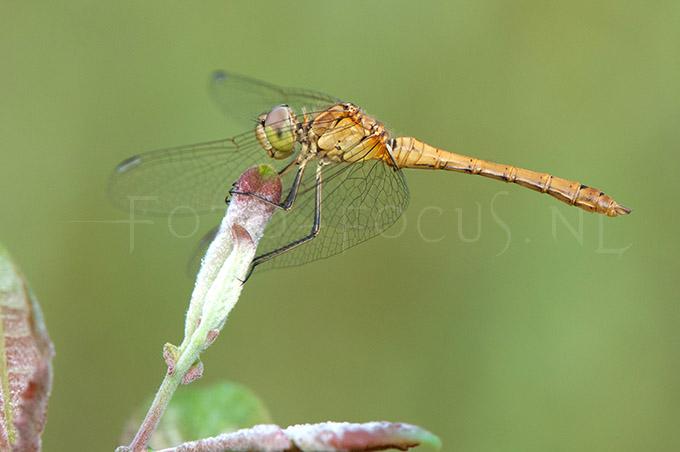 Sympetrum meridionale - Zuidelijke heidelibel3 - y male
