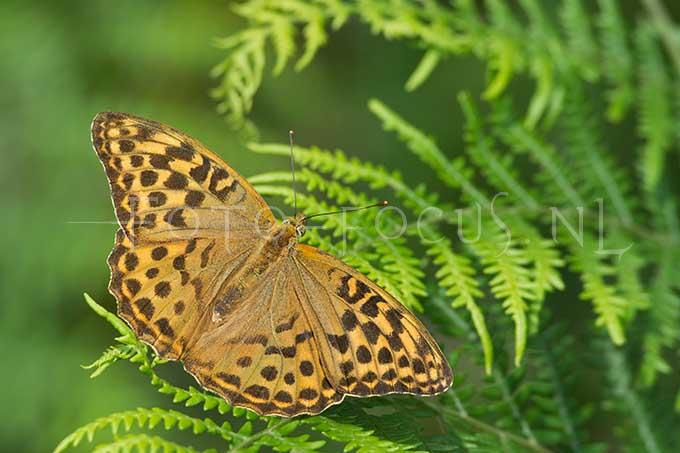Argynnis paphia - Keizersmantel- female