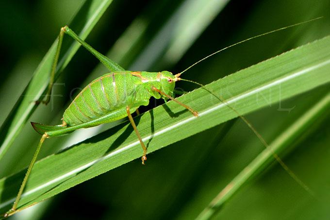 Lepophyes puntatissima - Struiksprinkhaan -female