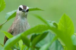 Pycnonotus goiavier - Wenkbrauwbuulbuul.