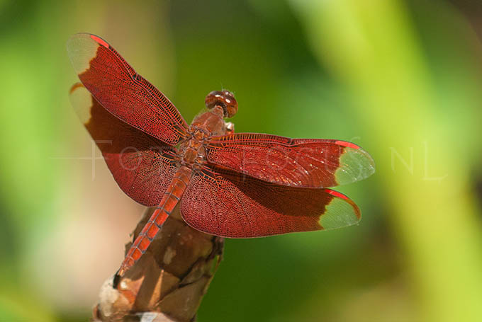 Neurothemis fulvia2 - male