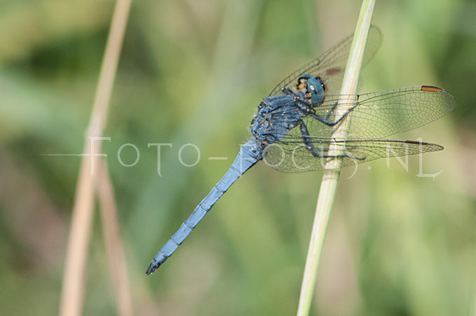Orthetrum coerulescens - Beekoeverlibel- male