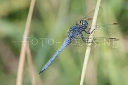 Orthetrum coerulescens - Beekoeverlibel- male