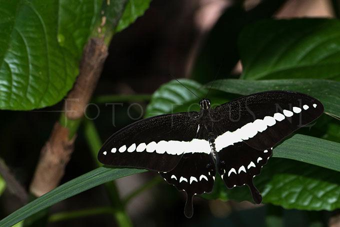 Papilio demolion