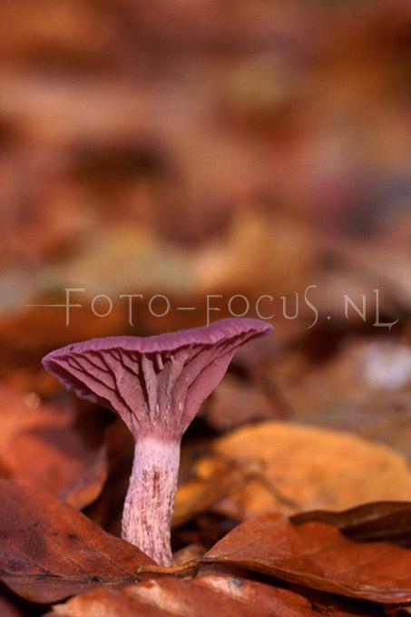 Laccaria amethystea - Amethistzw1