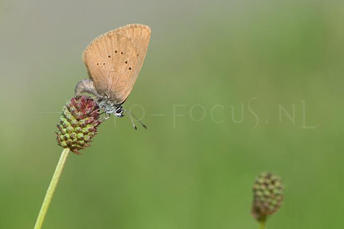 Phengaris nausithous - Donker pimpernelblauwtje2 - egg laying female