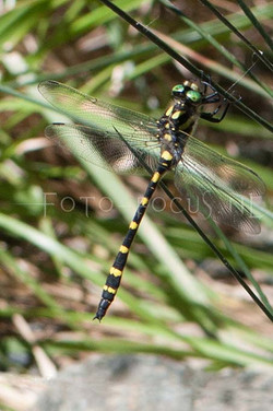 Cordulegaster picta - Turkse bronlibel