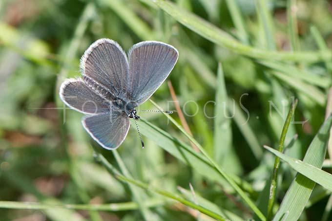 Cupido minimus - Dwergblauwtje1