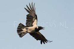 Corvus cornix - Bonte Kraai2