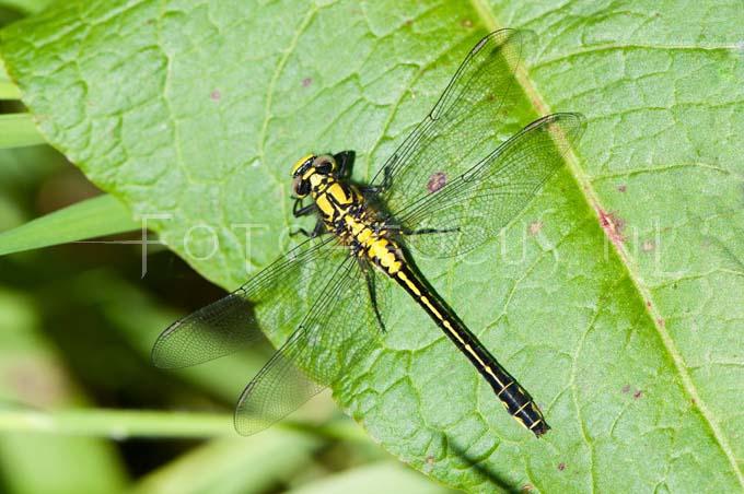 Gomphus vulgatissimus - Beekrombout2- female