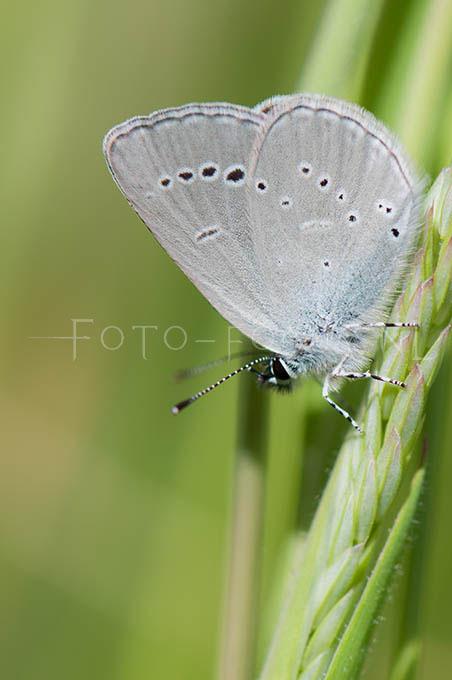 Cupido minimus - Dwergblauwtje2