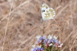 Pontia edusa - Oostelijk resedawitje1