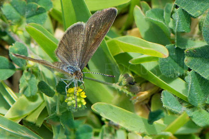 Zizeeria knysna - Ametistblauwtje2 -female