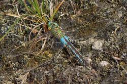 Anax imperator - Grote keizerlibel1 - female