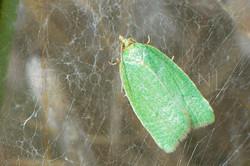 Tortrix viridana - Groene eikenbladroller