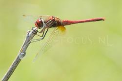 Sympetrum fonscolombii - Zwervende heidelibel3 - male