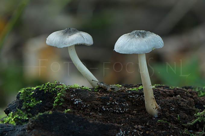 Pluteus salicinus - Grauwgroene hertenzw.2
