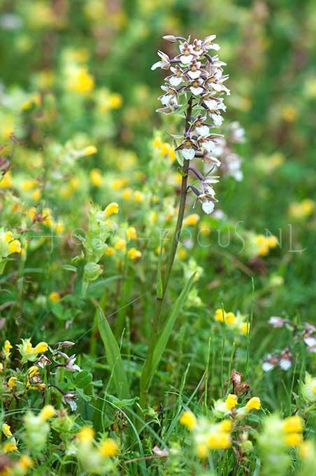 Epipactis palustris - Moeraswespenorchis1