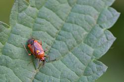 Deraeocoris ruber - Rode halsbandwants -female