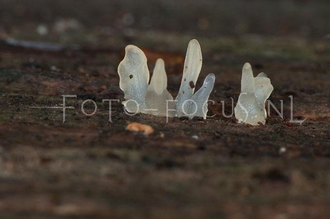 Calocera pallidospathulata - Spatelhoorntje1