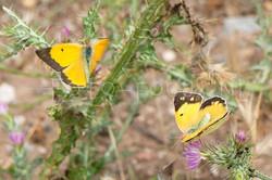Colias erate - Oostelijke luzernevlinder2