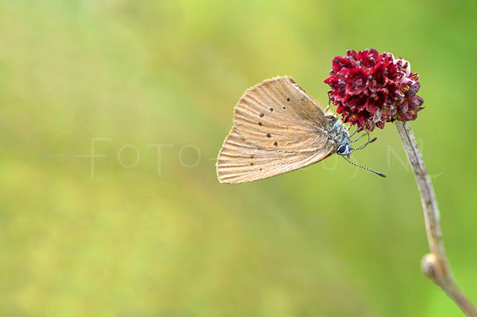 Phengaris nausithous - Donker pimpernelblauwtje1