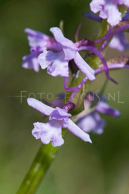 Gymnadenia conopsea - Grote muggenorchis3