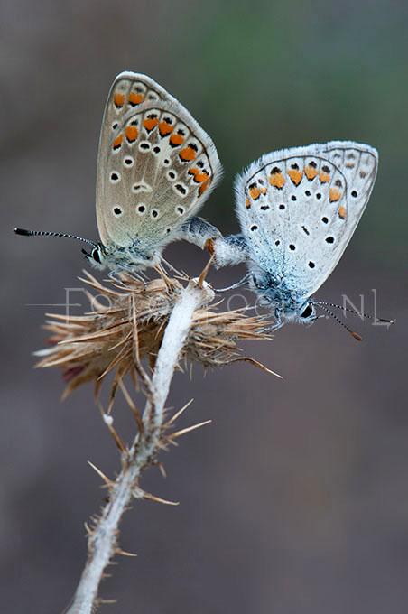 Polyommatus icarus - Icarusblauwtje4 - copula