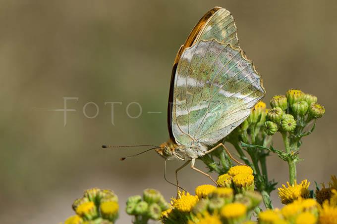 Argynnis paphia - Keizersmantel2- female