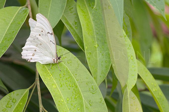 Morpho polyphemus- Witte Morpho