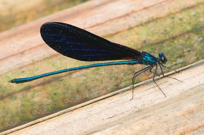 Matrona nigripectus -male