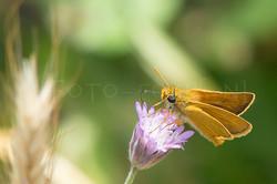 Thymelicus acteon - Dwergdikkopje -male