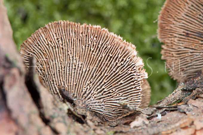 Gloephyllum sepiarium - Geelbruine plaatjeshoutzw1