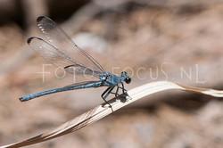 Epallage fatima - Orientjuff.2 -male