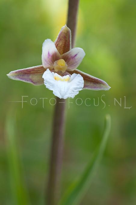 Epipactis palustris - Moeraswespenorchis3