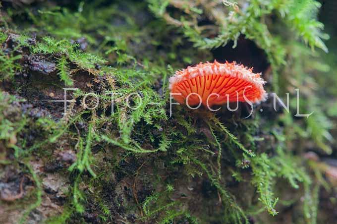 Crepidotus cinnabarinus - Rood oorzw