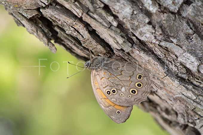 Kirinia roxelana - Grote schaduwzandoog2 - male