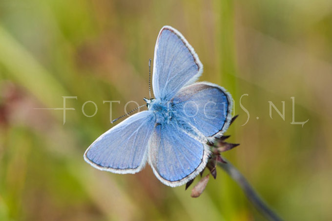 Polyommatus icarus - Icarusblauwtje3 -male