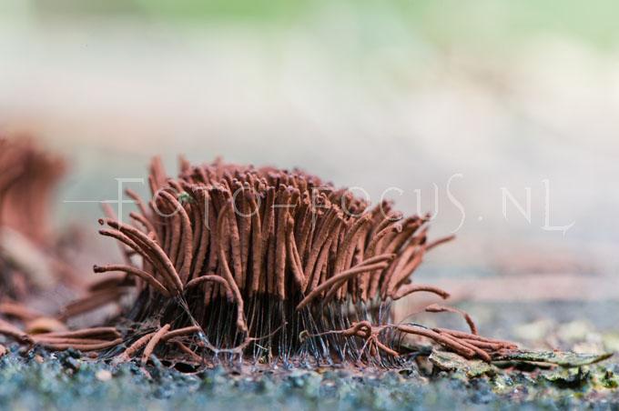 Stemonitis fusca - Gebundeld Netpluimpje2