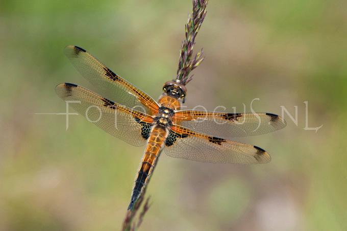Libellula quadrimaculata - Viervlek2- male