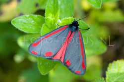 Tyria jacobaea - st. Jacobsvlinder