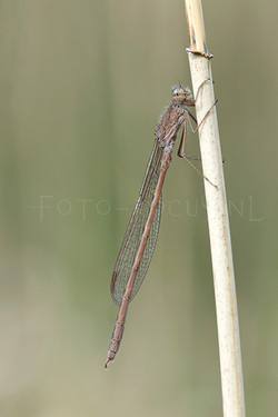 Sympecma paedisca - Noordse winterjuff.2 -male
