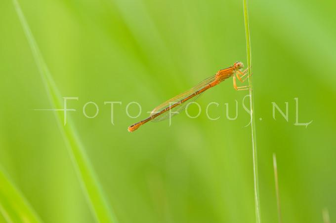 Ischnura pumilio - Tengere grasjuff.1- female